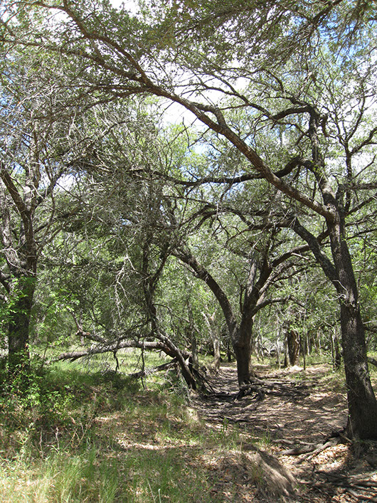 central texas-riparian live oak forest-2.jpg