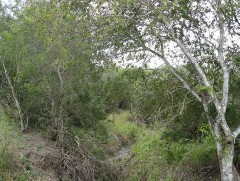 Example South Texas: Floodplain Evergreen Shrubland.jpg