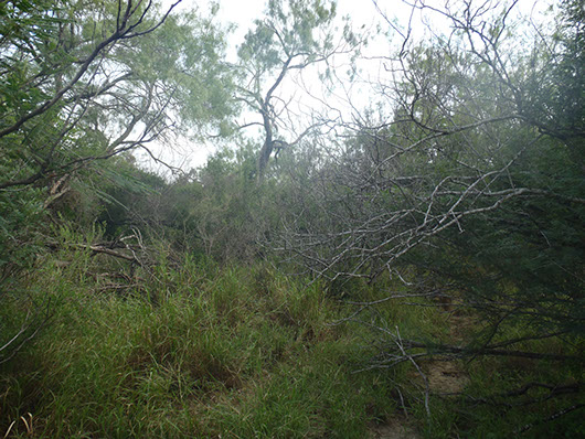 south texas-ramadero dense shrubland-777.jpg