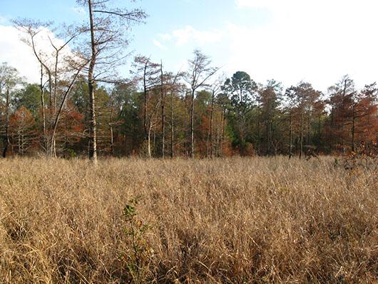 pineywoods-bottomland herbaceous wetland-593.jpg