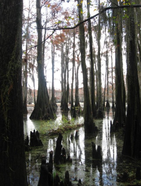 Example Pineywoods: Bottomland Baldcypress Swamp.jpg