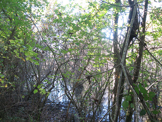 pineywoods-deciduous successional bottomland shrubland-344.jpg
