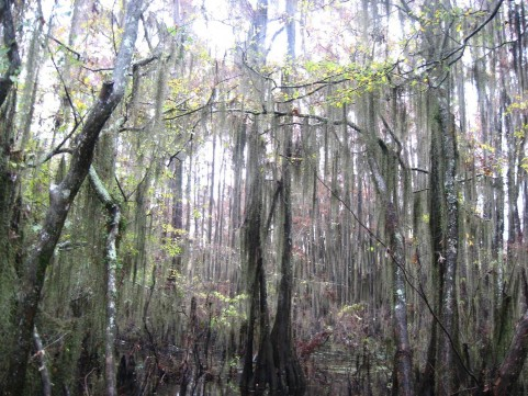 Example Gulf Coast: Near-Coast Baldcypress Swamp.jpg