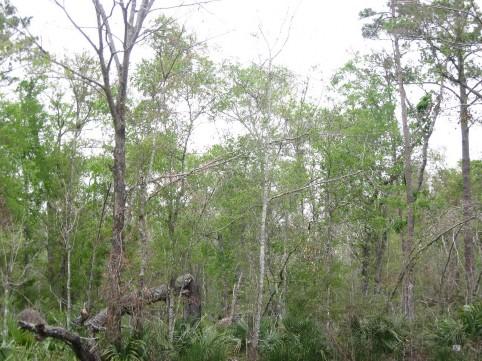 Example Pineywoods: Wet Hardwood Flatwoods.jpg