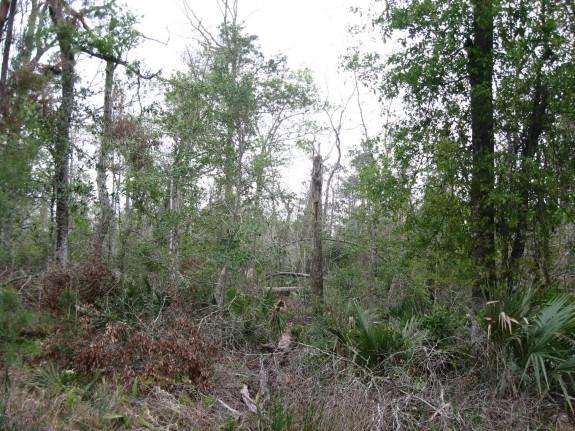 Example Pineywoods: Hardwood Flatwoods.jpg