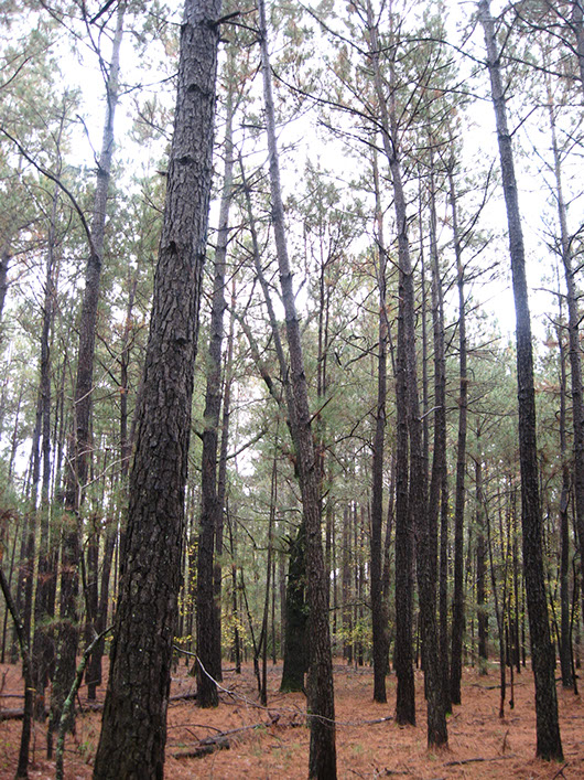 pineywoods-longleaf or loblolly pine flatwoods or plantation-583.jpg