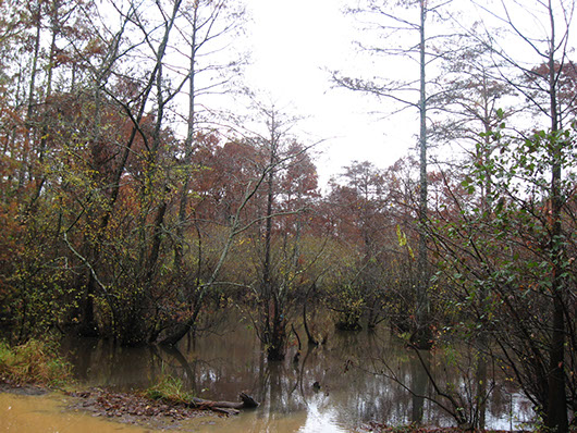 pineywoods-small stream and riparian baldcypress swamp-571.jpg