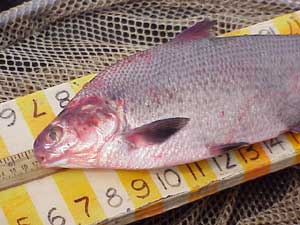 Tpwd images of fish kills for List of fish with fins and scales