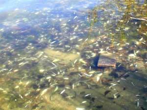 Harmful algal blooms golden alga for Lake granbury fishing