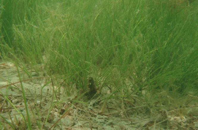 Shoal Grass