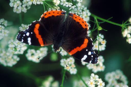 Red Admiral Butterfly, Red Admiral Butterfly Pictures