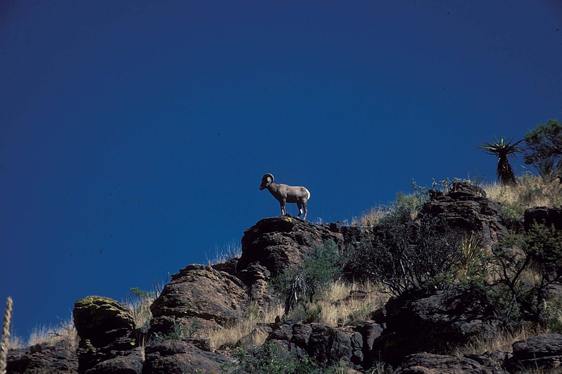 Bighorn Sheep © Texas Parks and Wildlife Department