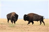 Caprock Bison-release- MG 1243a