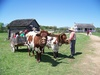 Mark Sanders With Slim and Shorty the Oxen Giving Ox Cart Rides