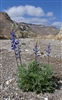 2012-02-17 Bluebonnet in Big Bend Ranch State Park
