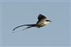 Fork-tailed Flycatcher 9497