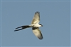 Fork-tailed Flycatcher 9500