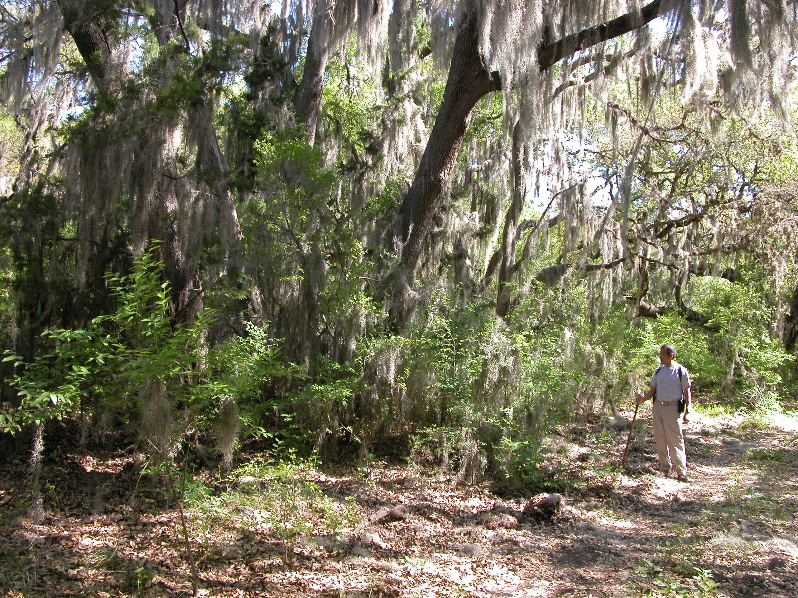 Spanish Moss at Government Canyon State Natural Area