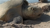 Female Kemp's Ridley Sea Turtle Nesting, Laying Eggs at Padre Island National Seashore