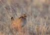 2014-04-09 TPWD Prairie Chicken MG 2750