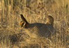 2014-04-09 TPWD Prairie Chicken MG 2760