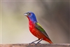 Painted-bunting 7300 36
