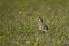 3 - Bobwhite Quail at Powderhorn Ranch