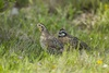 3 - Bobwhite Quail Pair at Powderhorn Ranch