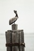3 - Brown Pelican on Pier Piling at Powderhorn Ranch