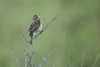 3 - Dickcissel Singing at Powdehorn Ranch