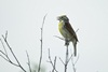 3 - Dickcissel Singing at Powderhorn Ranch, White Background