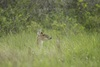 3 - Doe Deer in the Grass at Powderhorn Ranch