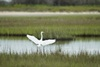 3 - Great Egret on a Wetland Bayou at Powderhorn Ranch