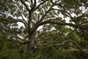 3 - Live Oak on Powderhorn Ranch