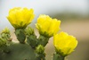 3 - Prickly Pear Cactus Flowers at Powderhorn Ranch