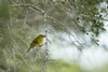 3 - Summer Tanager at Powderhorn Ranch