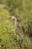 3 - Yellow-crowned Night-heron at Powderhorn Ranch