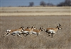 Pronghorn Capture Dalhart- MG 5262-7x10-opti