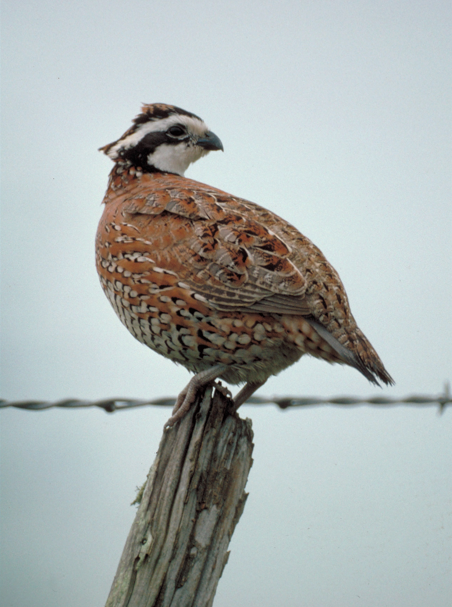 Bobwhite quail, © Texas Parks and Wildlife Department