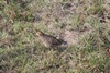 Bobwhite Quail on WW Ranch
