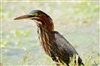 Beaver Pond Green Heron