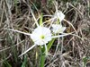 Brazos Bend State Park Spider Lily