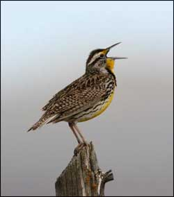 TPWD: Bird Songs – Introducing Birds to Young Naturalists