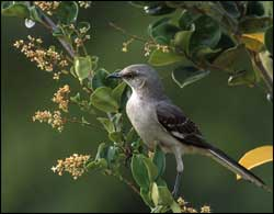 The Mockingbird Gets Its Name From Ability Mimic Songs Of Dozens Other Birds But It Also Has A Beautiful Song Own
