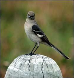 Mockingbirds Have Been Known To Attack Big Birds Such As The Carcacara