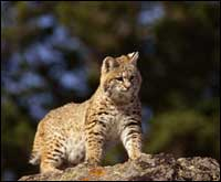 Tpwd Bobcats Introducing Mammals To Young Naturalists
