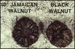 Jamaican Walnut and Black Walnut Sea-beans