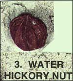 Water Hickory Nut