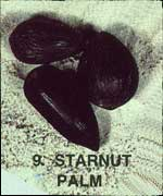 Starnut Palm Sea-bean