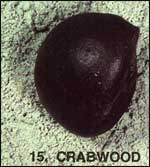 Crabwood Sea-bean